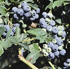 blueberry - late fruiting