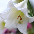 Lilium longiflorum White Heaven (PBR)