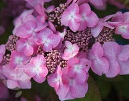 Hydrangea Endless Summer Twist-n-Shout ('Piihm-I') (lacecap hydrangea)