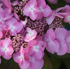 Hydrangea Endless Summer Twist-n-Shout = 'Piihm-I'