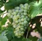 grape (syn Riesling Sylvaner)