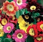 50 plus 20 FREE Primula Auricula Rainbow Garden Ready Plugs
