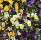 50 plus 20 FREE Viola Ochre (trailing) Garden Ready Plugs
