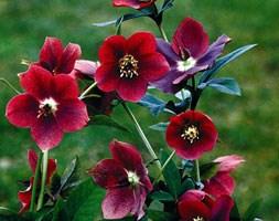 Helleborus x hybridus 'Red Lady' (Lady Series) (lenten rose / hellebore)