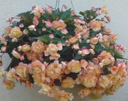 Begonia 'Champagne' (begonia tuber)