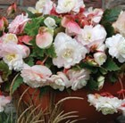 Begonia odorata Mother's Day