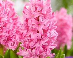 Hyacinthus orientalis 'Pink Pearl' (garden hyacinth bulbs)