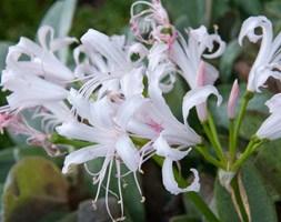Nerine bowdenii 'Ella K' (Guernsey lily)