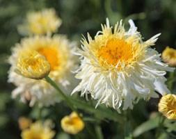 Leucanthemum x superbum 'Goldrausch' (PBR) (daisy)