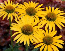 Echinacea 'Mac 'n' Cheese' (coneflower)