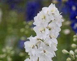 Delphinium 'Galahad' (Pacific Hybrids Series) (delphinium)
