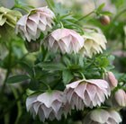 Helleborus × hybridus Harvington double lilac speckled