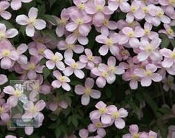 Clematis montana var.  montana (clematis (group 1))