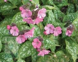 Pulmonaria 'Pink Haze' (PBR) (lungwort)