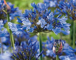 Agapanthus 'Sunfield' (African lily)