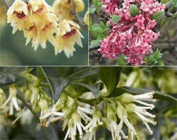 fragrant winter shrubs