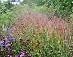 Panicum virgatum 'Rehbraun' (switch grass)