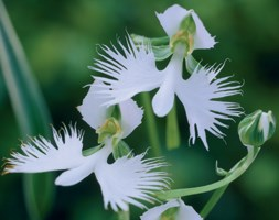 white egret orchid - a rare Japanese beauty