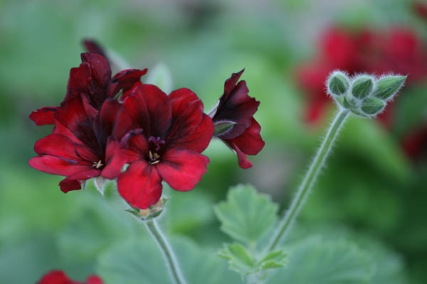 three unique pelargoniums