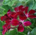 three pelargoniums