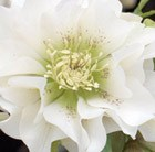 Helleborus × hybridus Double Ellen White