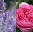 Rose and Lavander Collection