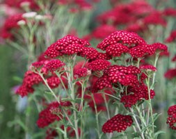 Achillea millefolium 'Red Velvet' (common yarrow)