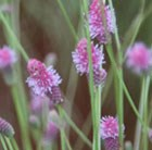 Sanguisorba officinalis Pink Tanna