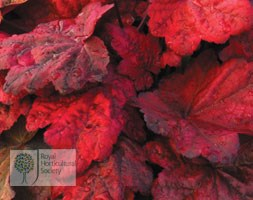 Heuchera 'Autumn Leaves' (coral bells)