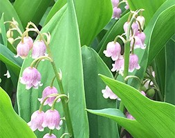 Convallaria majalis var. rosea (lily-of-the-valley)
