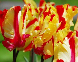 Tulipa 'Flaming Parrot' (parrot tulip bulbs)