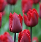 Tulipa Red Hat