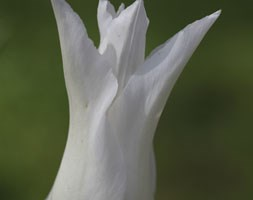 Tulipa 'Tres Chic' (lily flowered tulip)