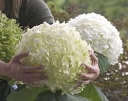 Hydrangea arborescens Strong Annabelle ('Abetwo') (sevenbark ( syn Incrediball ))
