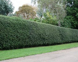 Ilex aquifolium (English holly - Hedging Range)