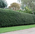 English holly - Hedging Range