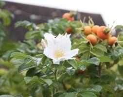 Rosa rugosa 'Alba' (rose (shrub) - Hedging range)
