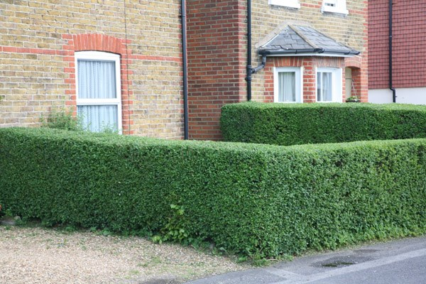 oval leaf privet - Hedging Range