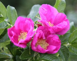 rose (shrub) - Hedging range