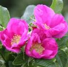 rose (shrub) - Hedging range