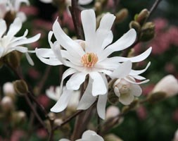 Magnolia stellata 'Waterlily' (Magnolia)