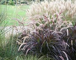 Pennisetum setaceum 'Rubrum' (fountain grass)