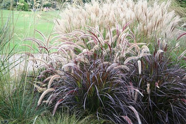 fountain grass ( syn setaceum 'Rubrum' )