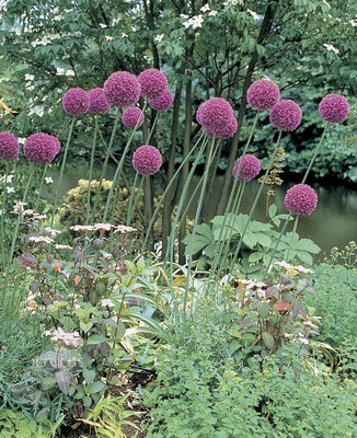 giant ornamental onion