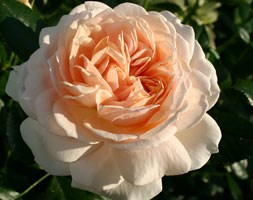 Rose of the Year 2011