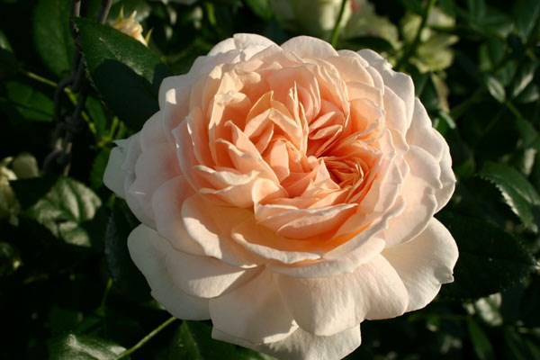 rose Joie de Vivre (shrub) = Rose of the year 2011