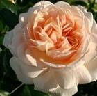 rose Joie de Vivre = Rose of the year 2011