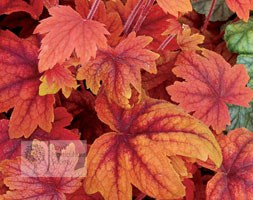 x Heucherella 'Sweet Tea' (coral bells)