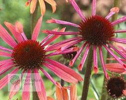 Echinacea 'Sunset' (PBR) (Big Sky Series) (coneflower)