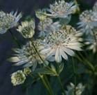 Astrantia major subsp. involucrata Shaggy